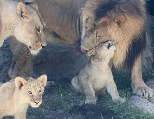 family of lions together